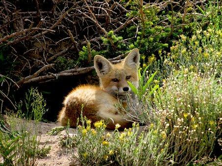 red-fox-2069440__340